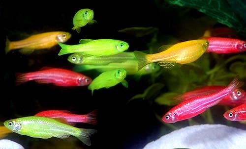 [Imagen: zebrafish.jpg]