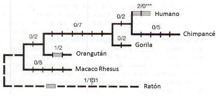 FOXP2 y el lenguaje articulado   Imperio de la Ciencia Orangutan Y Chimpance