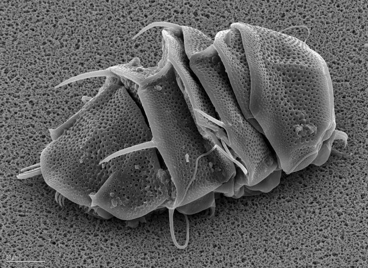 chi sono gli alieni Tardigrado-en-criptobiosis