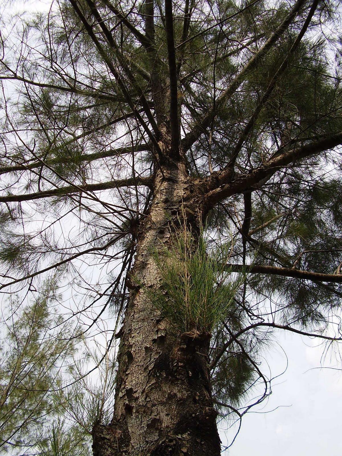 El pino de los tontos y los no tan tontos imperio de la for Tipos de arboles y caracteristicas
