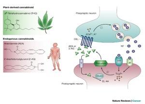 Acción sináptica del THC