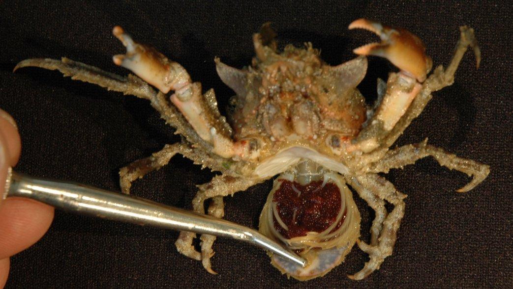 Colas de cangrejo | Imperio de la Ciencia