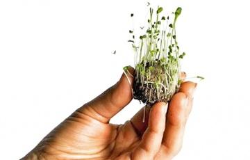 Carpodacus mexicanus reproduccion asexual de las plantas